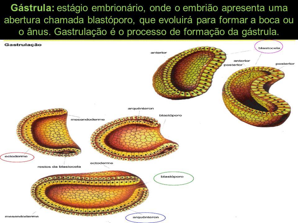 Gástrula: estágio embrionário, onde o embrião apresenta uma abertura chamada blastóporo, que evoluirá para formar a boca ou o ânus. Gastrulação é o pr