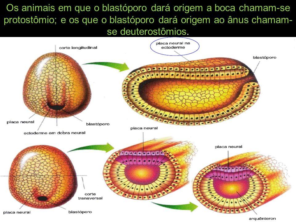 Os animais em que o blastóporo dará origem a boca chamam-se protostômio; e os que o blastóporo dará origem ao ânus chamam- se deuterostômios.