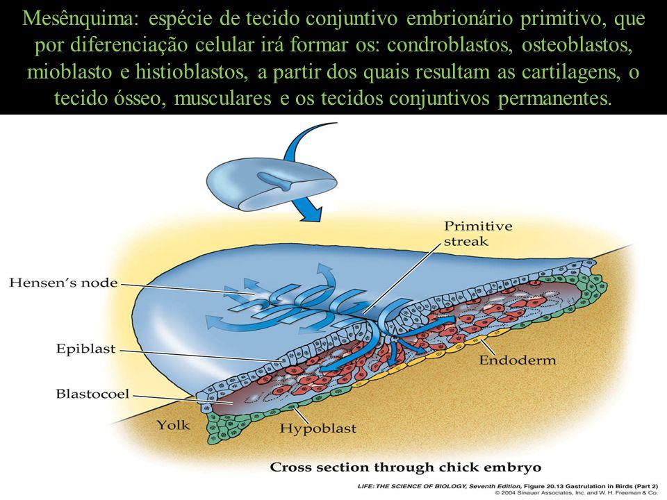 Mesênquima: espécie de tecido conjuntivo embrionário primitivo, que por diferenciação celular irá formar os: condroblastos, osteoblastos, mioblasto e