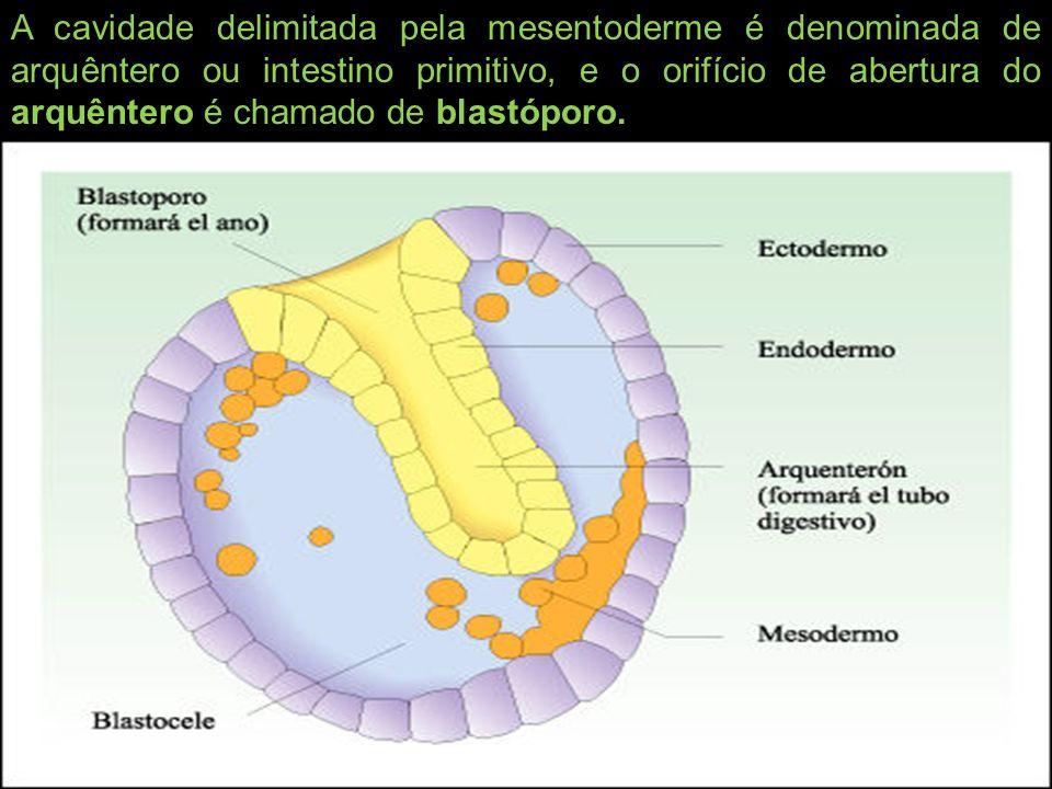 A cavidade delimitada pela mesentoderme é denominada de arquêntero ou intestino primitivo, e o orifício de abertura do arquêntero é chamado de blastóp