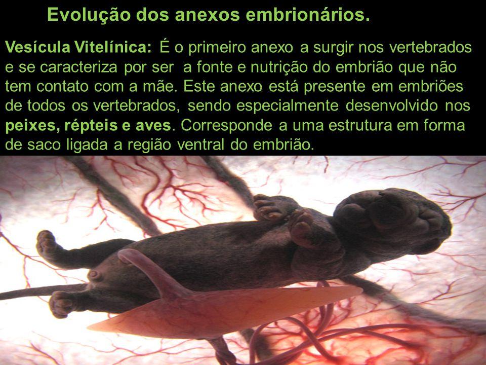 Evolução dos anexos embrionários. Vesícula Vitelínica: É o primeiro anexo a surgir nos vertebrados e se caracteriza por ser a fonte e nutrição do embr