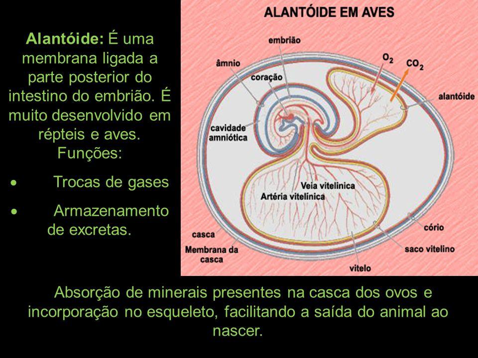 Alantóide: É uma membrana ligada a parte posterior do intestino do embrião. É muito desenvolvido em répteis e aves. Funções: Trocas de gases Armazenam