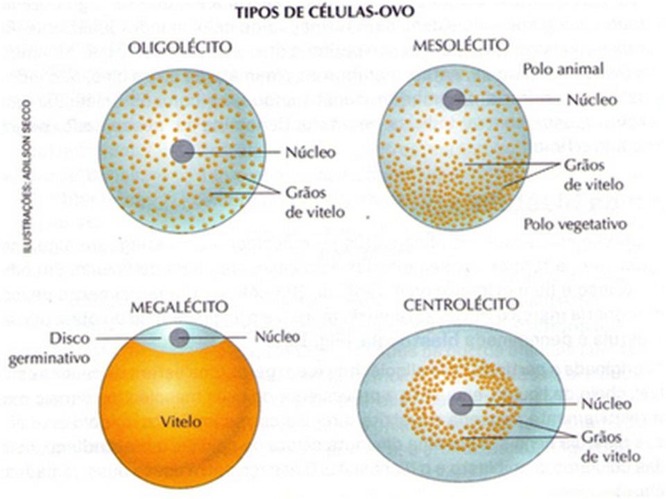 Tipos de segmentação: segmentação é o processo de divisão da célula-ovo.