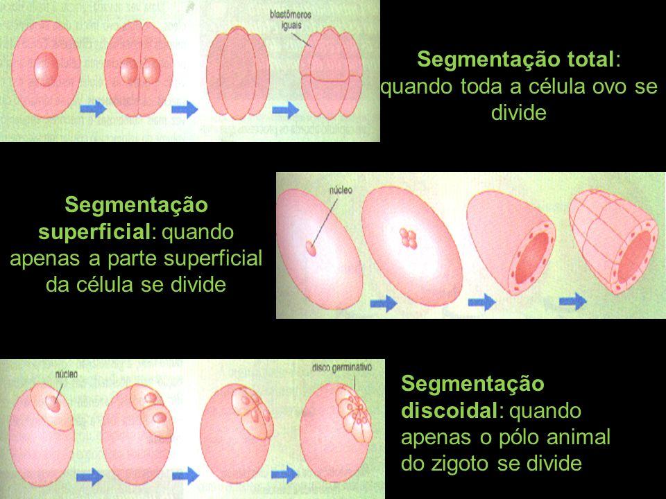 Segmentação total: quando toda a célula ovo se divide Segmentação discoidal: quando apenas o pólo animal do zigoto se divide Segmentação superficial: