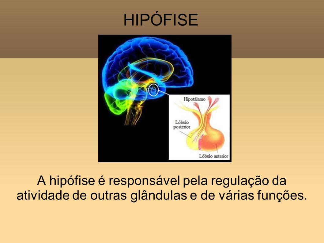 HIPÓFISE A hipófise é responsável pela regulação da atividade de outras glândulas e de várias funções.