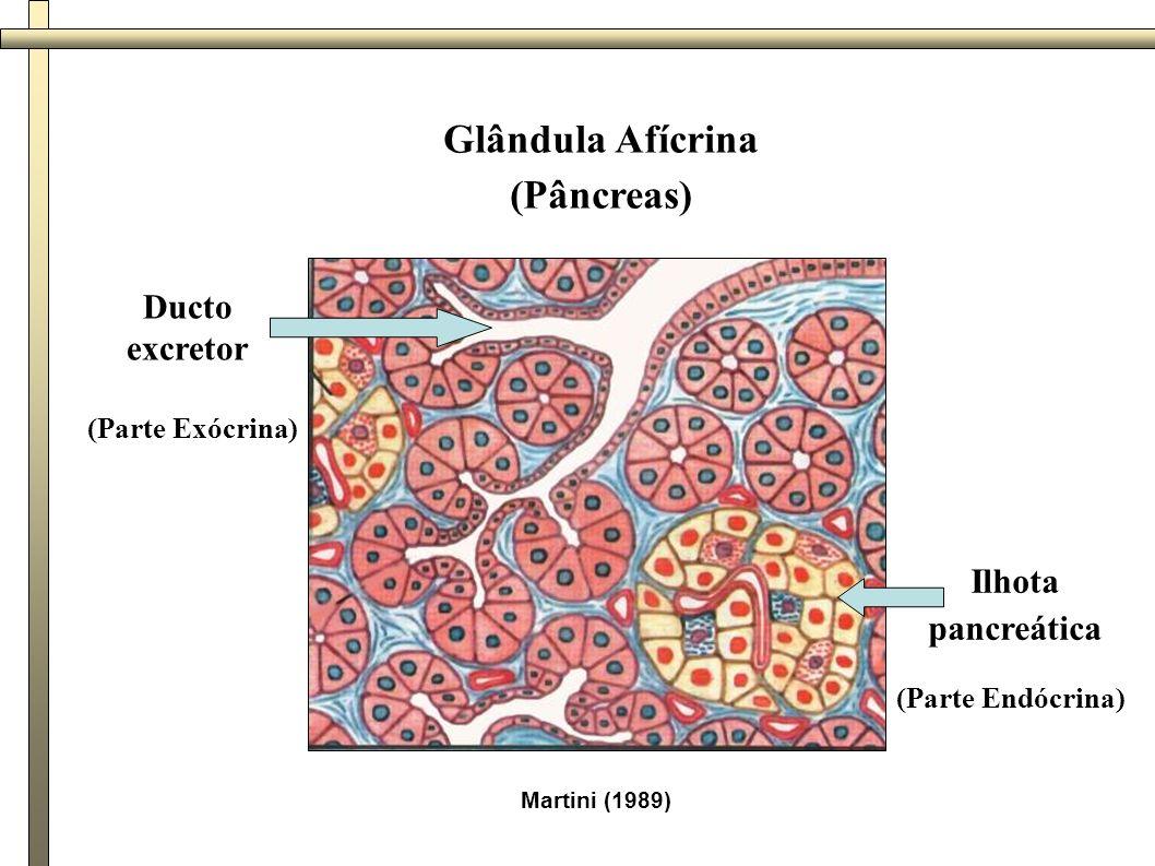 Martini (1989) Glândula Afícrina (Pâncreas) Ducto excretor Ilhota pancreática (Parte Exócrina) (Parte Endócrina)
