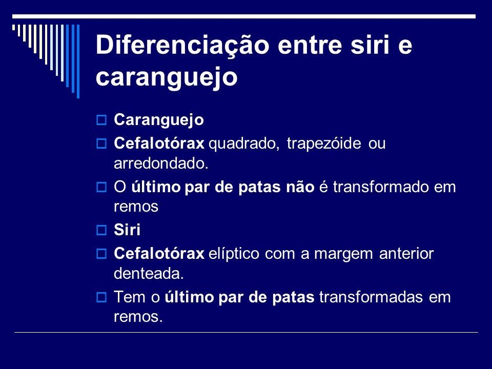 Diferenciação entre siri e caranguejo Caranguejo Cefalotórax quadrado, trapezóide ou arredondado. O último par de patas não é transformado em remos Si