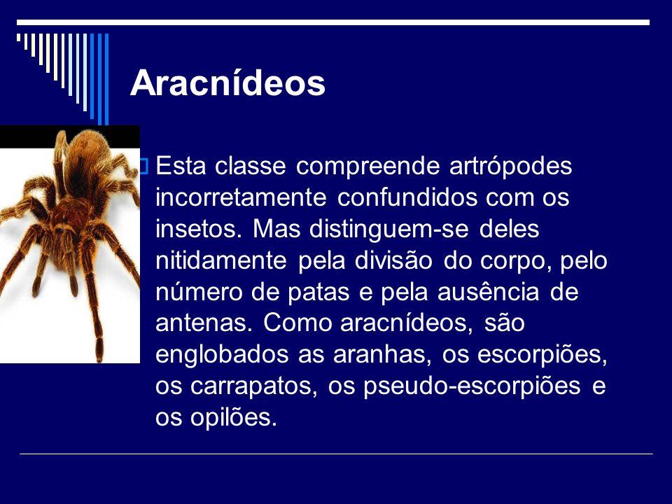 Aracnídeos Esta classe compreende artrópodes incorretamente confundidos com os insetos. Mas distinguem-se deles nitidamente pela divisão do corpo, pel