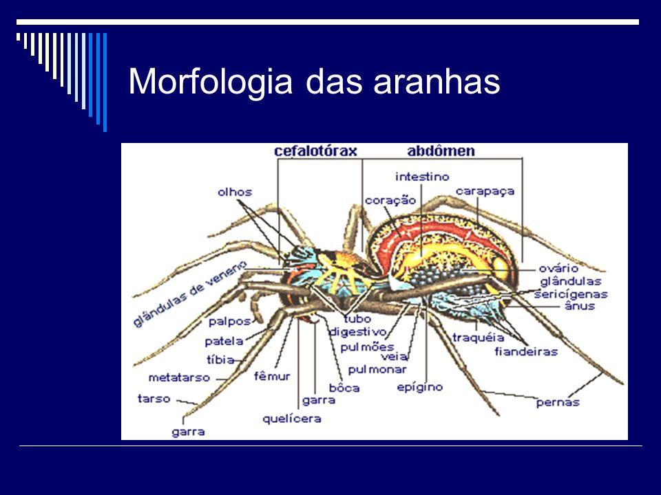 Morfologia das aranhas