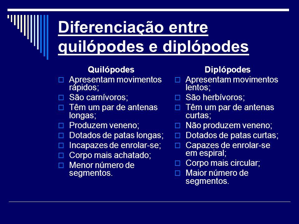Diferenciação entre quilópodes e diplópodes Quilópodes Apresentam movimentos rápidos; São carnívoros; Têm um par de antenas longas; Produzem veneno; D