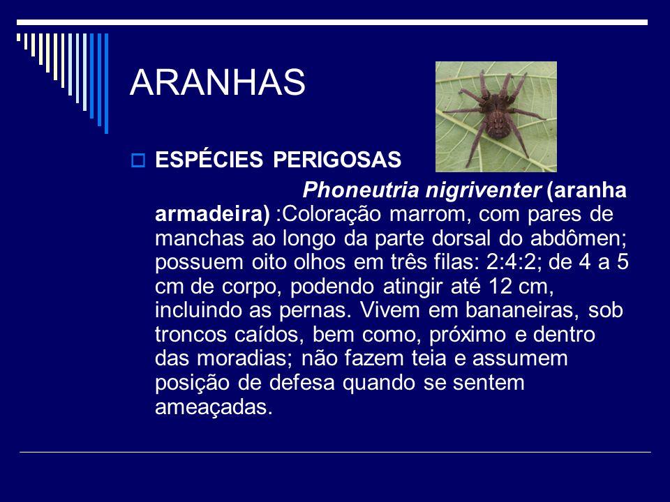 ARANHAS ESPÉCIES PERIGOSAS Phoneutria nigriventer (aranha armadeira) :Coloração marrom, com pares de manchas ao longo da parte dorsal do abdômen; poss