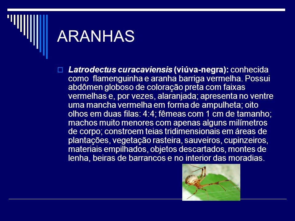 ARANHAS Latrodectus curacaviensis (viúva-negra): conhecida como flamenguinha e aranha barriga vermelha. Possui abdômen globoso de coloração preta com