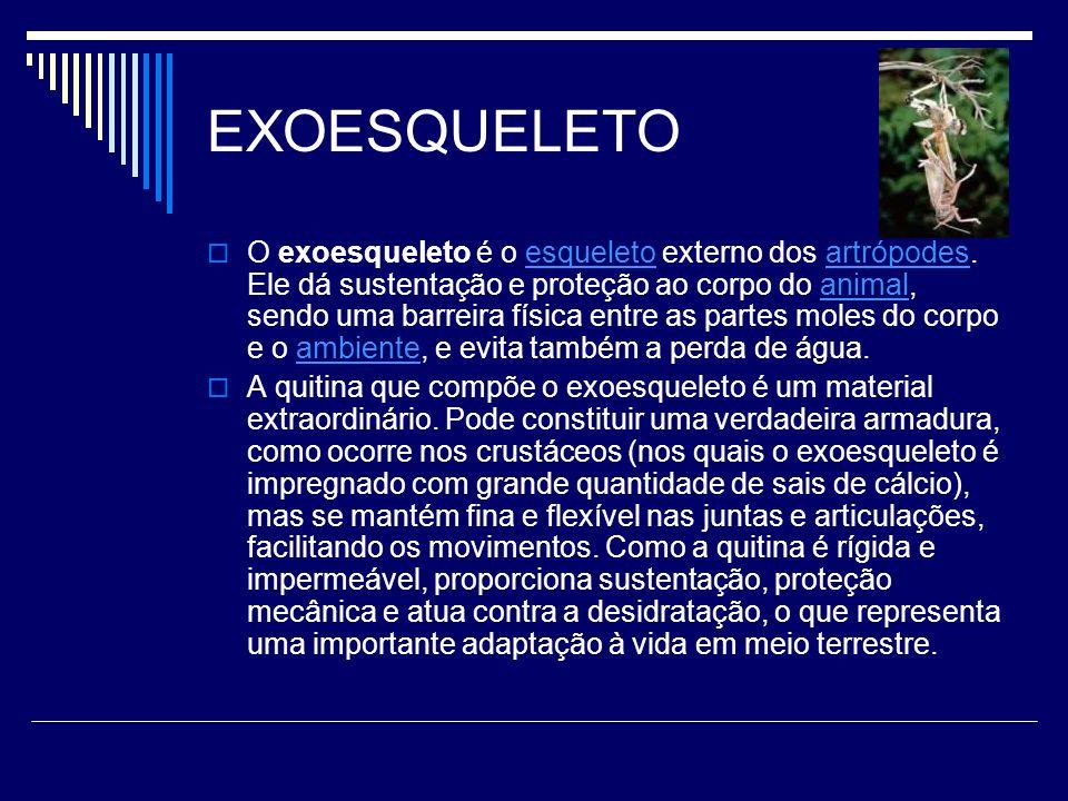 EXOESQUELETO O exoesqueleto é o esqueleto externo dos artrópodes. Ele dá sustentação e proteção ao corpo do animal, sendo uma barreira física entre as