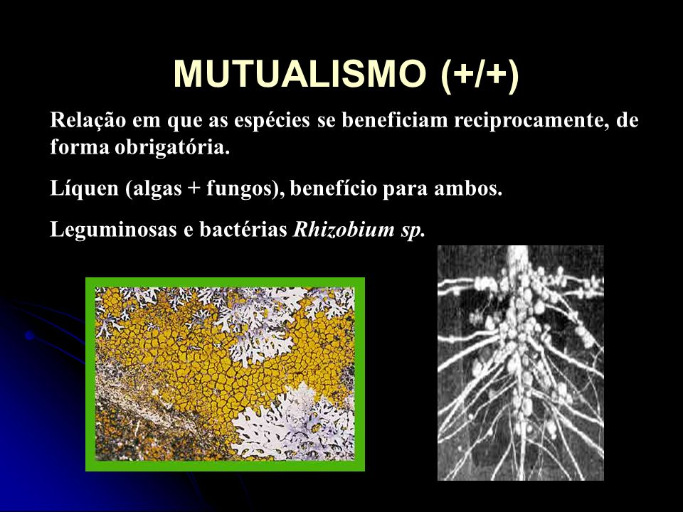 MUTUALISMO (+/+) Relação em que as espécies se beneficiam reciprocamente, de forma obrigatória. Líquen (algas + fungos), benefício para ambos. Legumin
