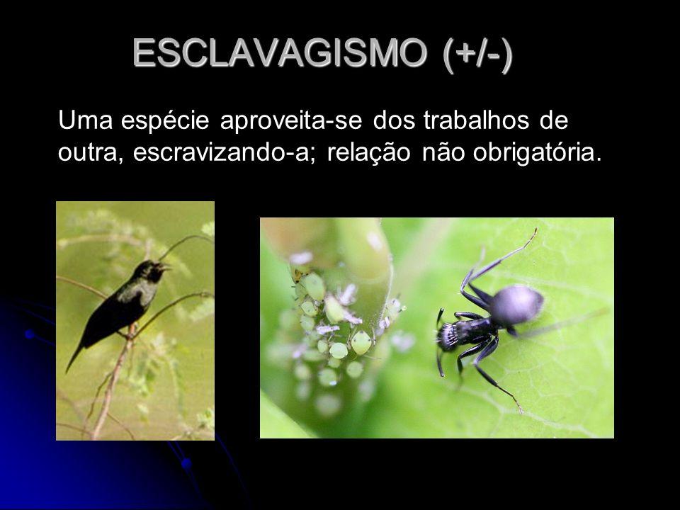 ESCLAVAGISMO (+/-) Uma espécie aproveita-se dos trabalhos de outra, escravizando-a; relação não obrigatória.