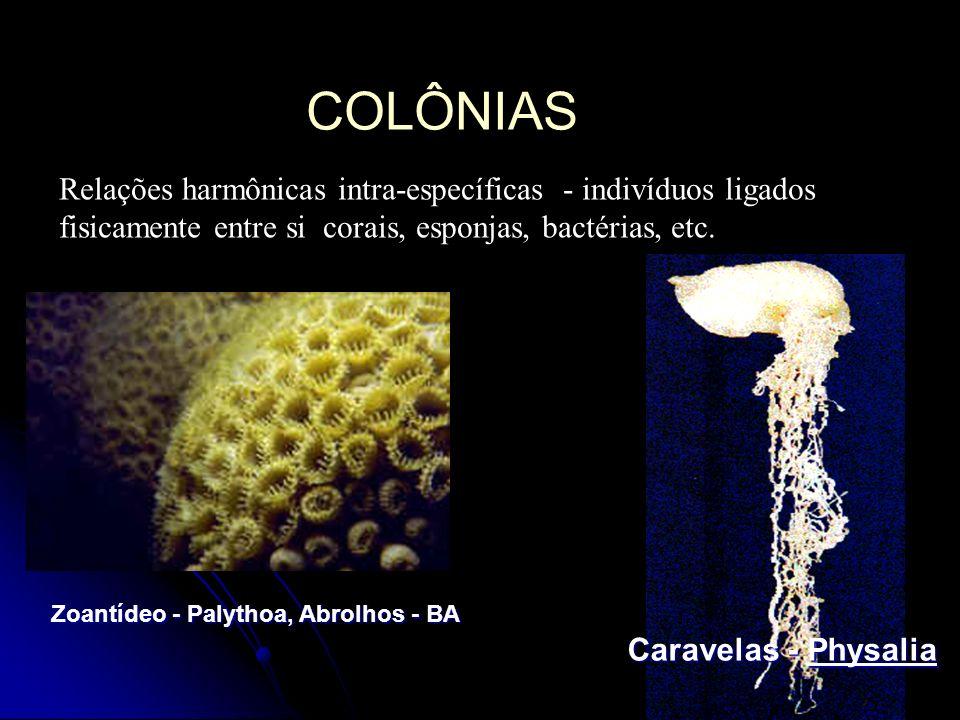 COLÔNIAS Relações harmônicas intra-específicas - indivíduos ligados fisicamente entre si corais, esponjas, bactérias, etc. Caravelas - Physalia Zoantí