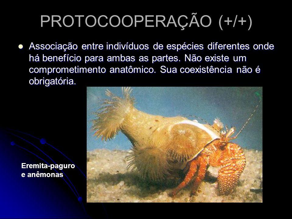PROTOCOOPERAÇÃO (+/+) Associação entre indivíduos de espécies diferentes onde há benefício para ambas as partes. Não existe um comprometimento anatômi
