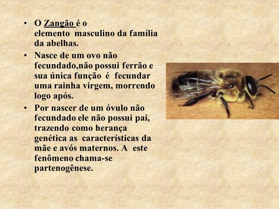 O Zangão é o elemento masculino da família da abelhas. Nasce de um ovo não fecundado,não possui ferrão e sua única função é fecundar uma rainha virgem