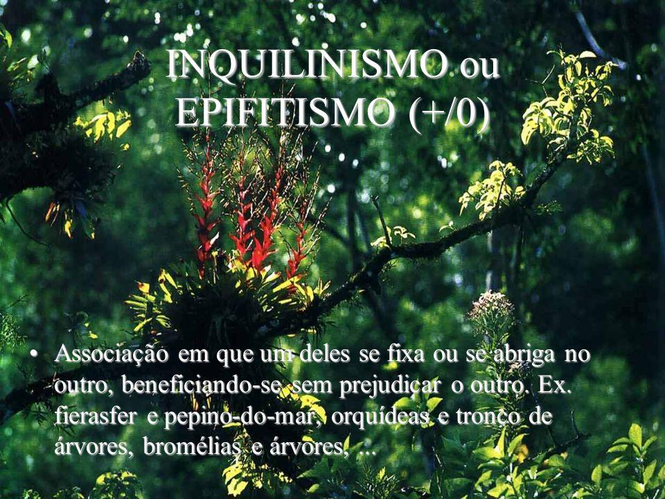INQUILINISMO ou EPIFITISMO (+/0) Associação em que um deles se fixa ou se abriga no outro, beneficiando-se sem prejudicar o outro. Ex. fierasfer e pep