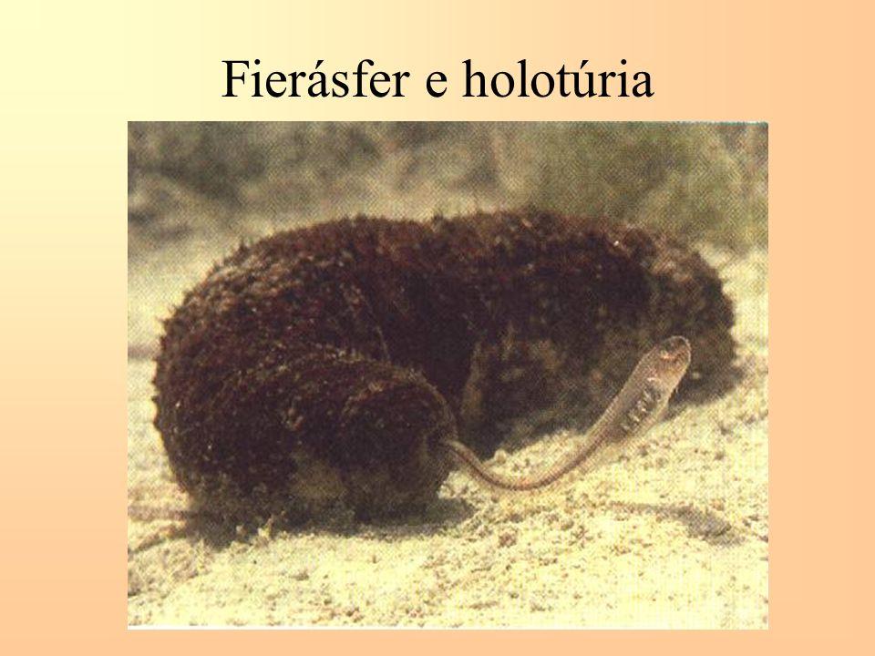 Fierásfer e holotúria