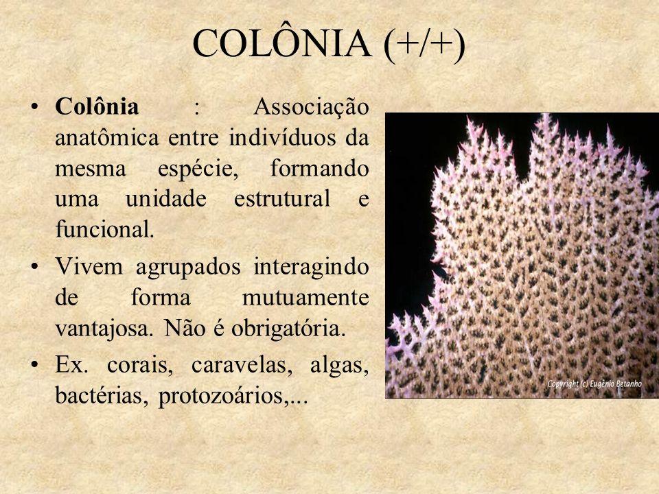 COLÔNIA (+/+) Colônia : Associação anatômica entre indivíduos da mesma espécie, formando uma unidade estrutural e funcional. Vivem agrupados interagin