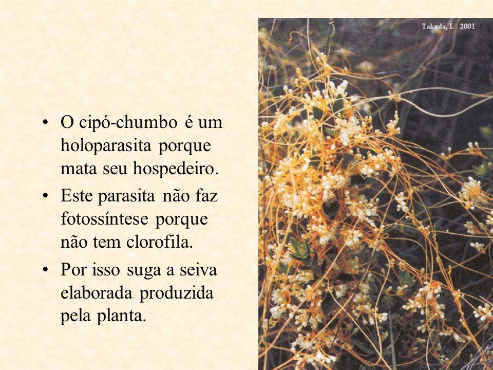 O cipó-chumbo é um holoparasita porque mata seu hospedeiro. Este parasita não faz fotossíntese porque não tem clorofila. Por isso suga a seiva elabora