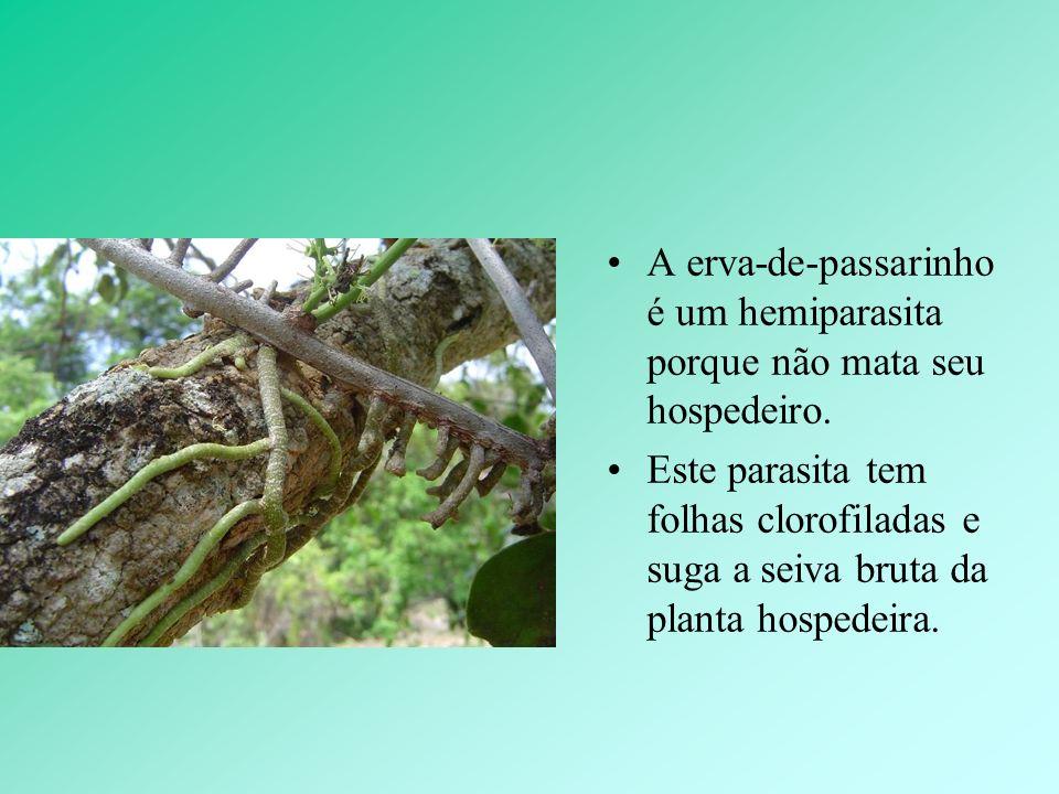 A erva-de-passarinho é um hemiparasita porque não mata seu hospedeiro. Este parasita tem folhas clorofiladas e suga a seiva bruta da planta hospedeira
