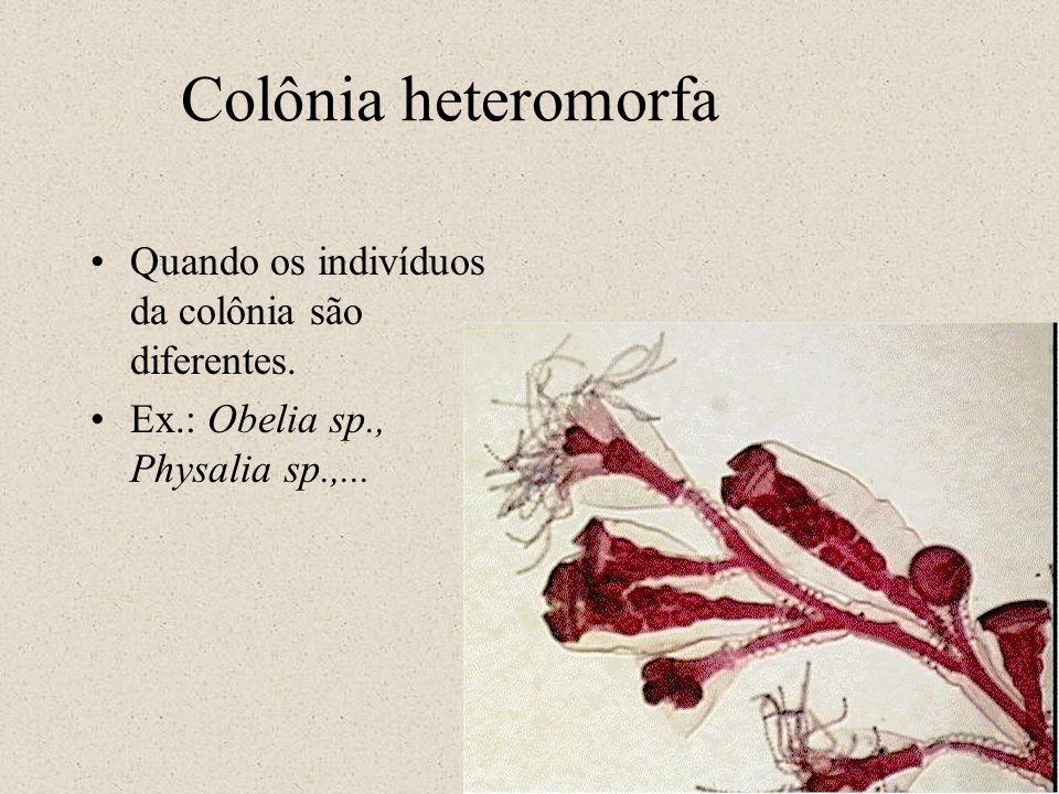 Colônia heteromorfa Quando os indivíduos da colônia são diferentes. Ex.: Obelia sp., Physalia sp.,...