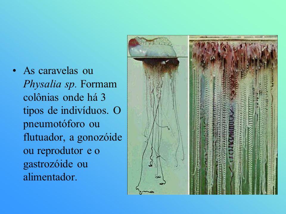 As caravelas ou Physalia sp. Formam colônias onde há 3 tipos de indivíduos. O pneumotóforo ou flutuador, a gonozóide ou reprodutor e o gastrozóide ou