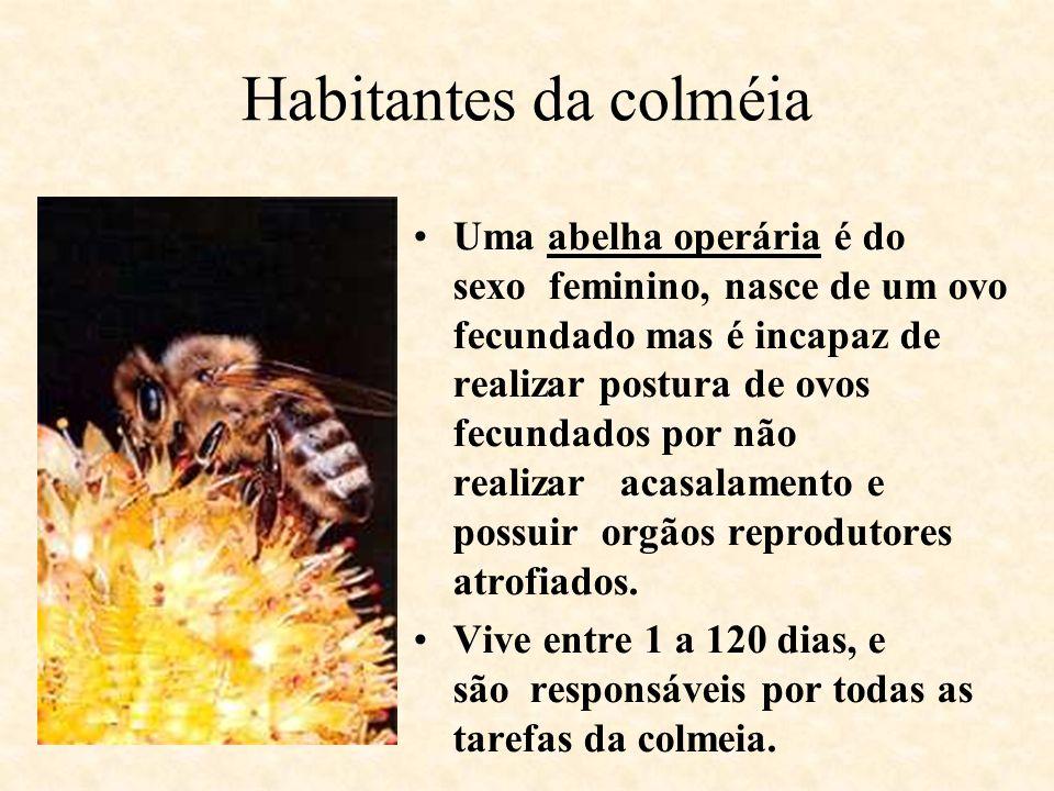 Habitantes da colméia Uma abelha operária é do sexo feminino, nasce de um ovo fecundado mas é incapaz de realizar postura de ovos fecundados por não r