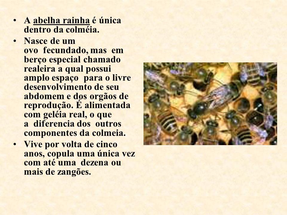 A abelha rainha é única dentro da colméia. Nasce de um ovo fecundado, mas em berço especial chamado realeira a qual possui amplo espaço para o livre d