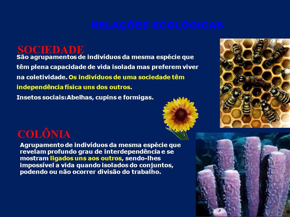 RELAÇÕES ECOLÓGICAS SOCIEDADE COLÔNIA São agrupamentos de indivíduos da mesma espécie que têm plena capacidade de vida isolada mas preferem viver na coletividade.