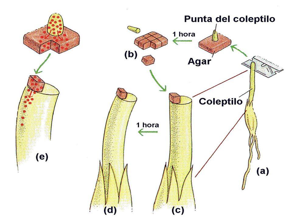 São os hormônios que controlam a divisão celular e que juntamente com as auxinas controlam, tamb é m, a diferencia ç ão celular.