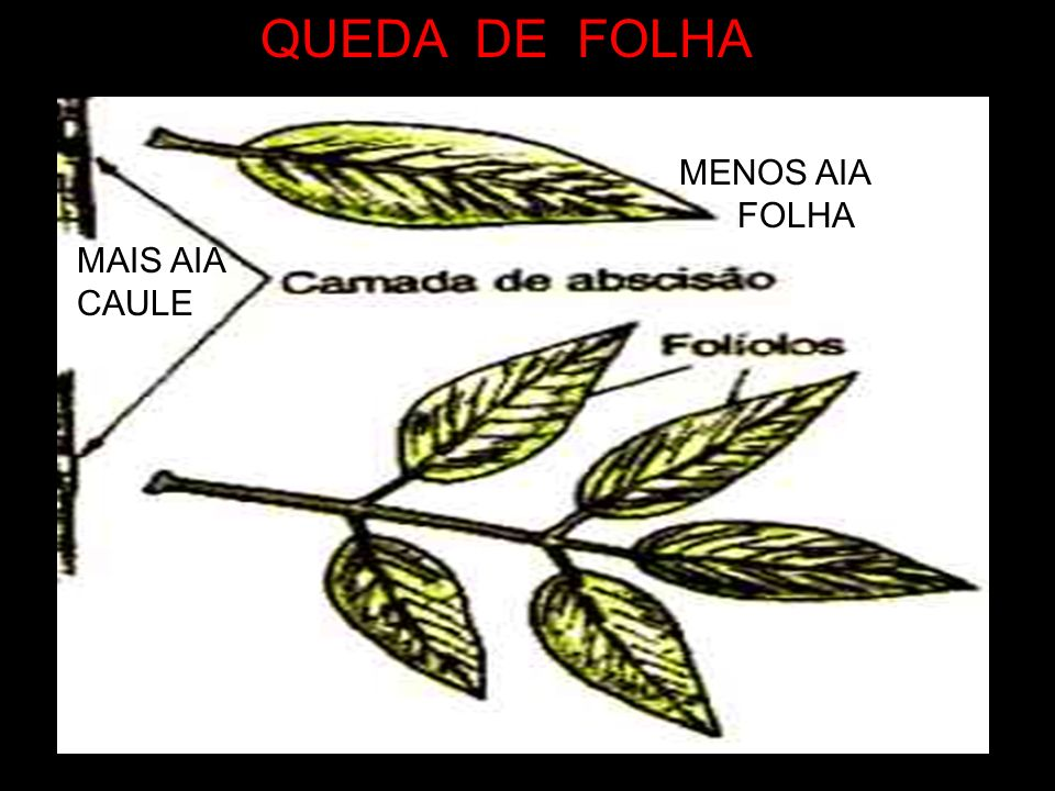 QUEDA DE FOLHA MENOS AIA FOLHA MAIS AIA CAULE