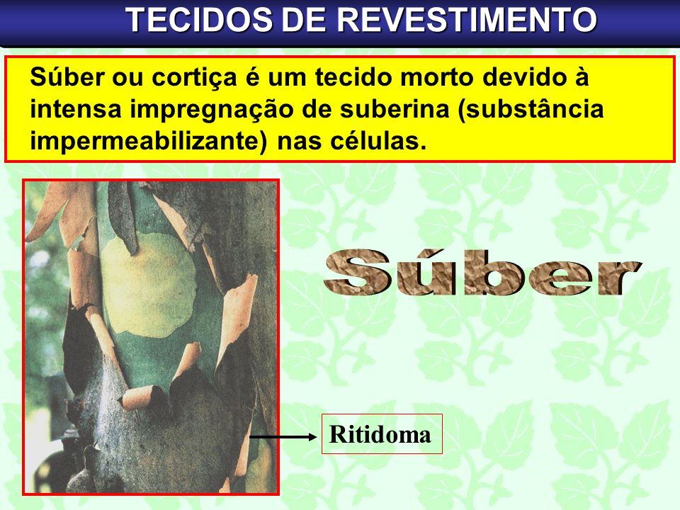 Súber ou cortiça é um tecido morto devido à intensa impregnação de suberina (substância impermeabilizante) nas células. TECIDOS DE REVESTIMENTO Ritido