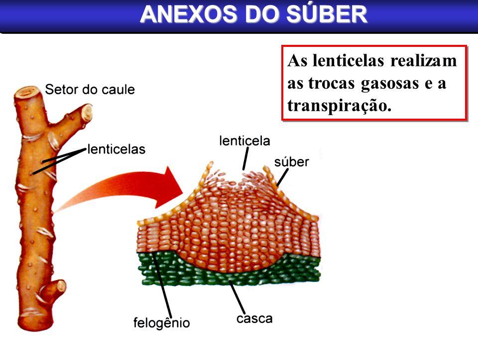 ANEXOS DO SÚBER As lenticelas realizam as trocas gasosas e a transpiração. As lenticelas realizam as trocas gasosas e a transpiração.