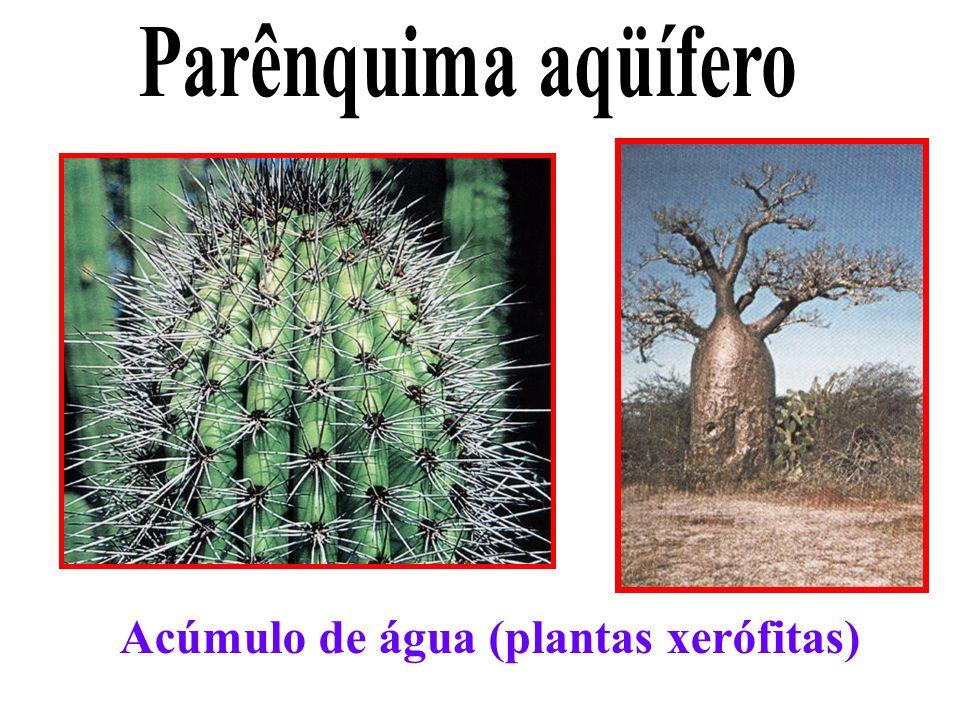 Acúmulo de água (plantas xerófitas)