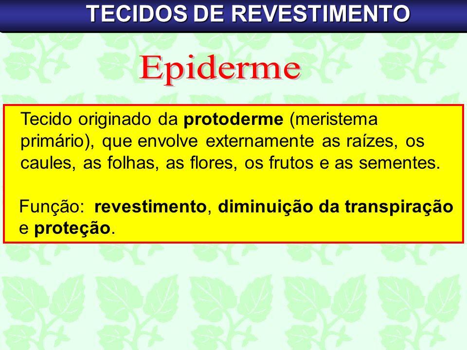 Tecido originado da protoderme (meristema primário), que envolve externamente as raízes, os caules, as folhas, as flores, os frutos e as sementes. Fun