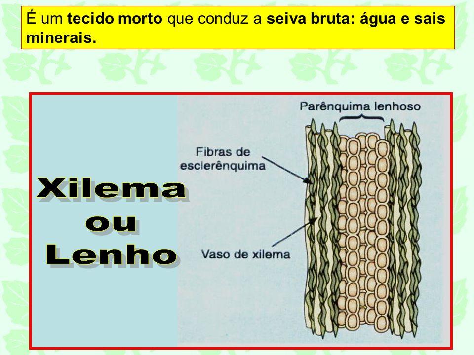 É um tecido morto que conduz a seiva bruta: água e sais minerais.
