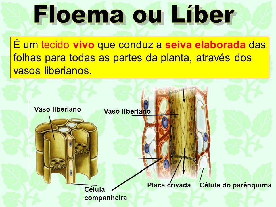 É um tecido vivo que conduz a seiva elaborada das folhas para todas as partes da planta, através dos vasos liberianos. Célula companheira Vaso liberia