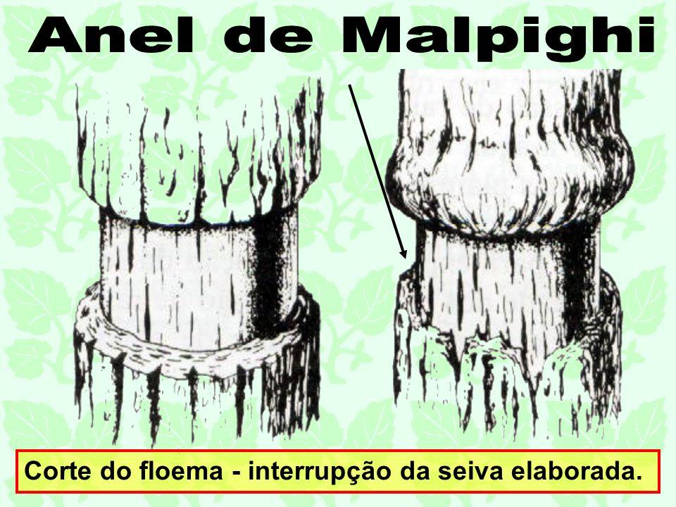 Corte do floema - interrupção da seiva elaborada.