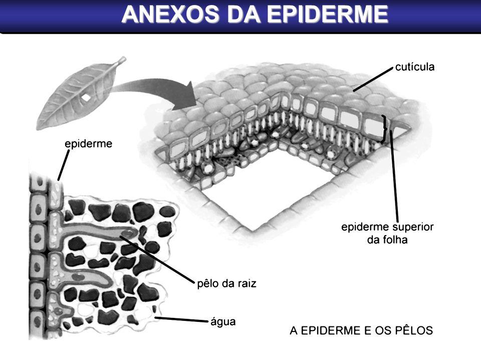 ANEXOS DA EPIDERME