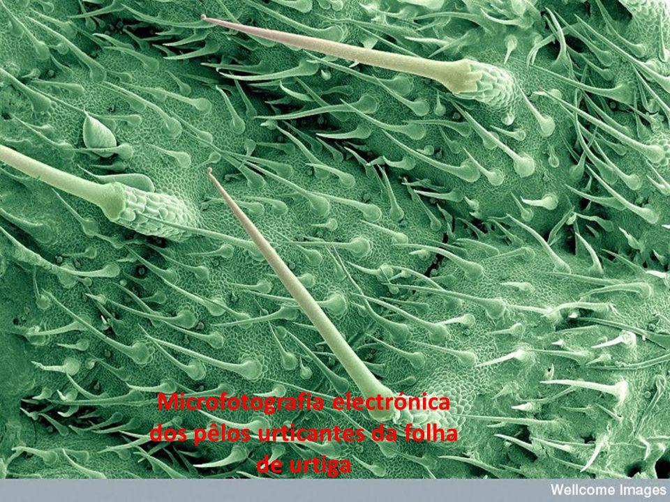 Súber ou cortiça é um tecido morto devido à intensa impregnação de suberina (substância impermeabilizante) nas células.