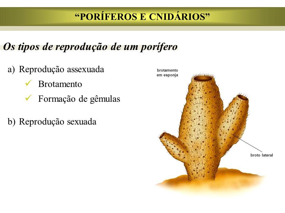 Os tipos de reprodução de um porífero a)Reprodução assexuada Brotamento Formação de gêmulas b)Reprodução sexuada broto lateral PORÍFEROS E CNIDÁRIOS b