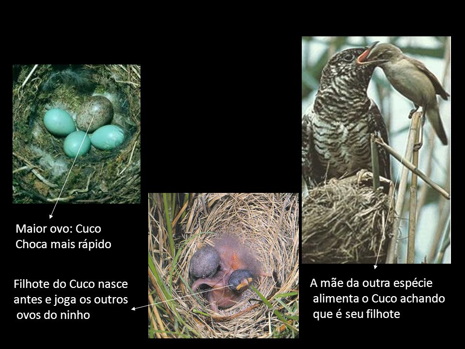 Maior ovo: Cuco Choca mais rápido Filhote do Cuco nasce antes e joga os outros ovos do ninho A mãe da outra espécie alimenta o Cuco achando que é seu filhote