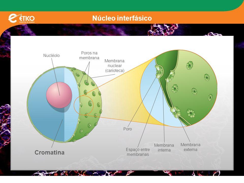 Núcleo interfásico Nucléolo Poros na membrana Cromatina Membrana nuclear (carioteca) Poro Espaço entre membranas Membrana interna Membrana externa