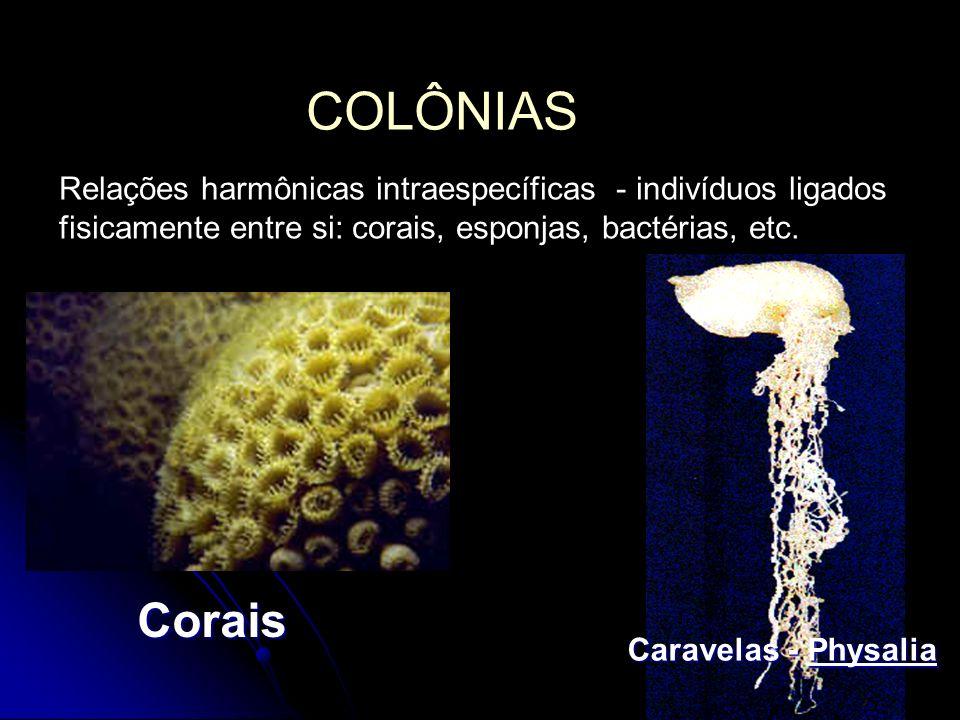 COLÔNIAS Relações harmônicas intraespecíficas - indivíduos ligados fisicamente entre si: corais, esponjas, bactérias, etc. Caravelas - Physalia Corais