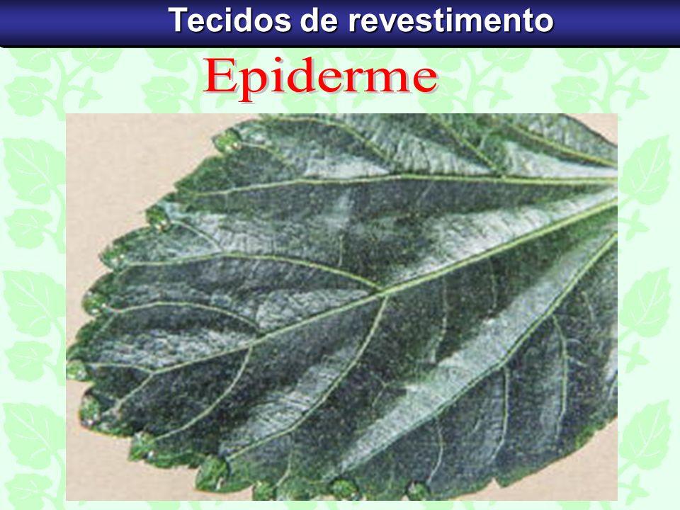 Tecido originado da protoderme (meristema primário), que envolve externamente as raízes, os caules, as folhas, as flores, os frutos e as sementes.