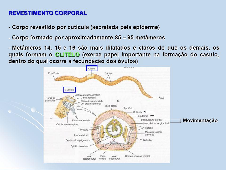REVESTIMENTO CORPORAL - Corpo revestido por cutícula (secretada pela epiderme) - Corpo formado por aproximadamente 85 – 95 metâmeros - Metâmeros 14, 1