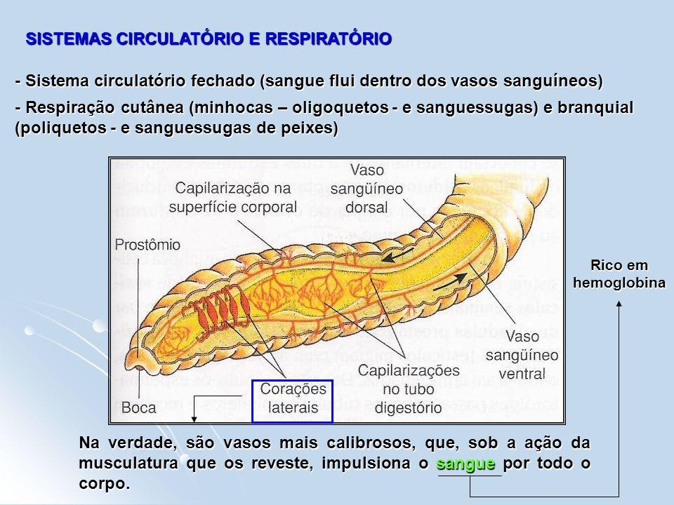 SISTEMAS CIRCULATÓRIO E RESPIRATÓRIO - Sistema circulatório fechado (sangue flui dentro dos vasos sanguíneos) Na verdade, são vasos mais calibrosos, q